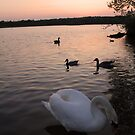 Swan at Sunset 2 by Mike Topley