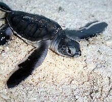 Baby Green Turtle Emerging From the Nest - Lady Elliot Island  by AmyLee2694