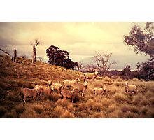 Sound of Sheep Photographic Print