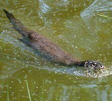 Otter in water by Steve