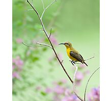 Out on a limb - Sunbird Photographic Print