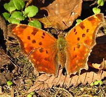 Autumn Butterfly by lorilee