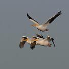Pelican Trio- American White Pelicans by Tom Dunkerton