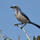 Just Looking Around- Florida Scrub-jay by Tom Dunkerton