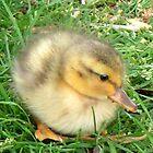 Little Duckling  by patjila