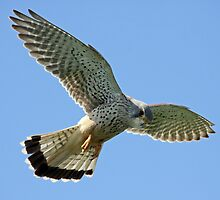 KESTREL IV by Debbie Ashe