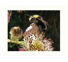 Bumble Bee and Wild Blackberry's Art Print