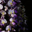Wisteria 3 by Annabelle Evelyn