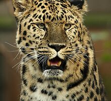 Amur Leopard Portrait by Mark Hughes