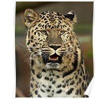 Amur Leopard Portrait Poster