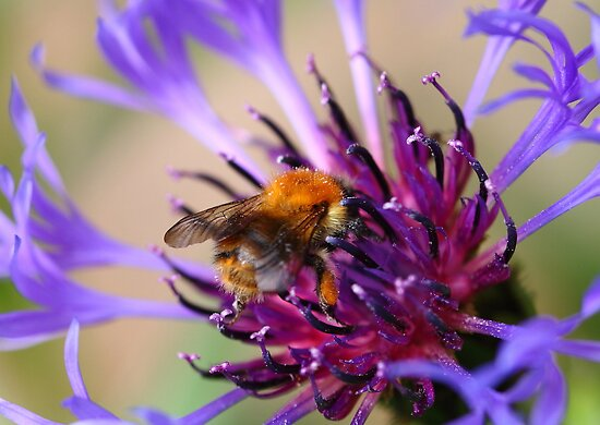Mountain Cornflower and a Bumble Bee by Paul Bettison