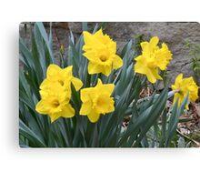 Daffodils 2011 Canvas Print