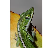 Green Anole Photographic Print