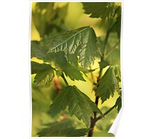 Baby Sugar Maple Poster