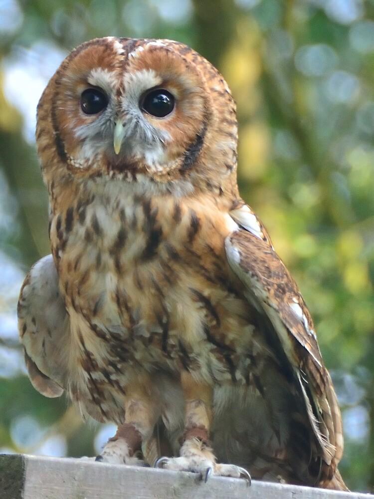 Tawny Owl by Steve