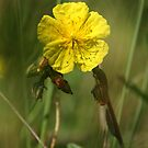 Yellow Sunrose by marens