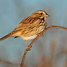 Song Sparrow- Jamiaca Bay WR by Tom Dunkerton