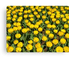 YELLOW TULIPS! Canvas Print