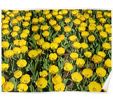 YELLOW TULIPS! Poster