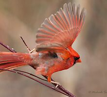 Northern Cardinal male by PixlPixi
