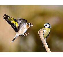 Goldfinch and Blue tit Photographic Print