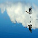 Reflecting Flight- Reddish Egret by Tom Dunkerton