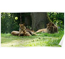 Lion Watch Poster