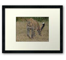 Prowling Leopard - Masai Mara Framed Print