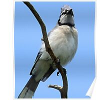 Proud bluejay Poster