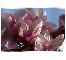 Soothing Magnolias Poster