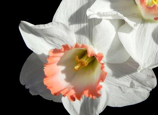 Pretty Daffodil ©  by Dawn M. Becker