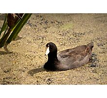 Ain't That A Coot - Wakadohatchee Wetlands Photographic Print