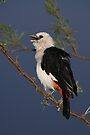 White-headed Buffalo-weaver, Tanzania  by Carole-Anne