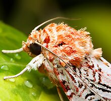 Fern Moth by Andi Surjanto