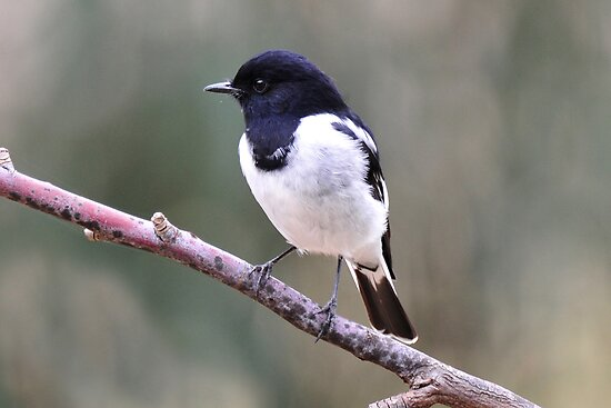 Hooded Robin - Capertee Valley by Alwyn Simple
