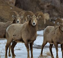 3 Rams by JamesA1