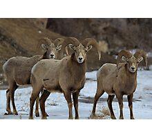 3 Rams Photographic Print