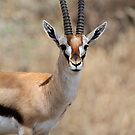 Thomson's Gazelle, Serengeti, Tanzania.  by Carole-Anne
