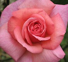 Kiltumper Rose by April Jarocka