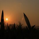 Sunrise in a Corn Field. by Anthony Faulkner
