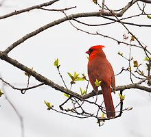Little Red by David McCrillis