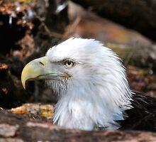 Bald Eagle Sitting On Her Eggs by imagetj