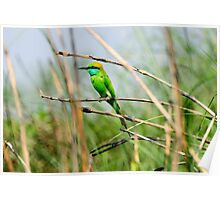 Green Bee Eater bird Poster