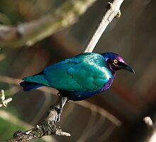 Purple Glossy Starling by John Gaffen