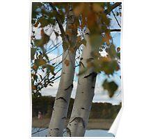 Autumn Birch tree Poster