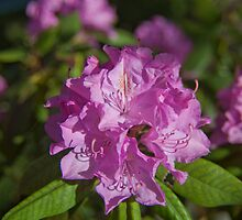 Rhododendron by Forrest Tainio