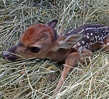 Welcome To The World Little Fawn by CrissyAnderson