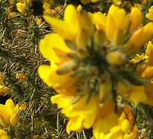 Gorse at Headen Warren IOW by FairyGirl15