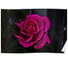""" Hot Pink Rose "" Poster"
