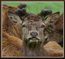 Young red deer stag. by scarfacesteve